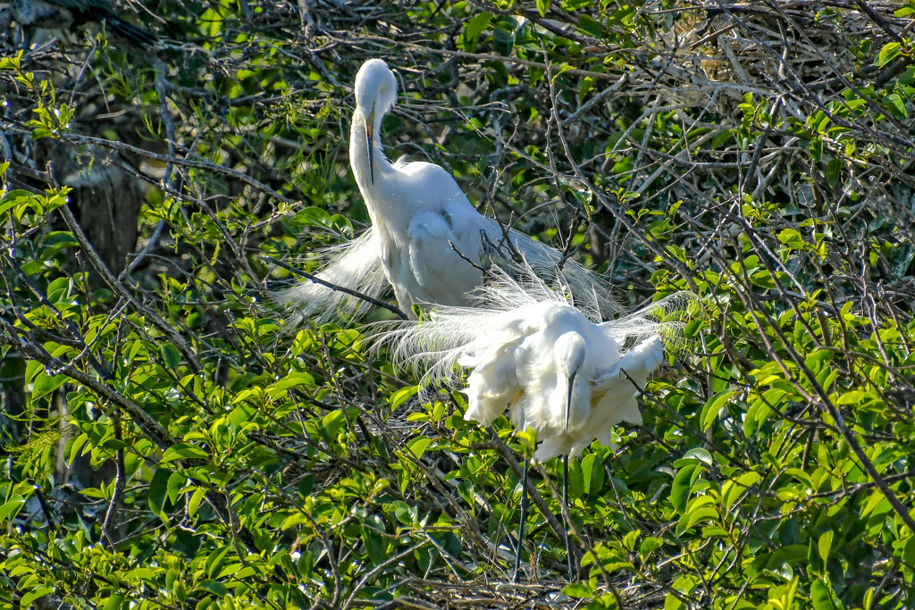 Snowy egrets in the nest by danette