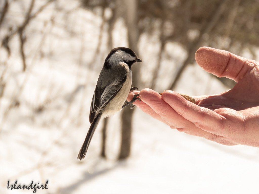 Feeding Chickadees by radiogirl