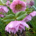 Pink hellebores.... by snowy