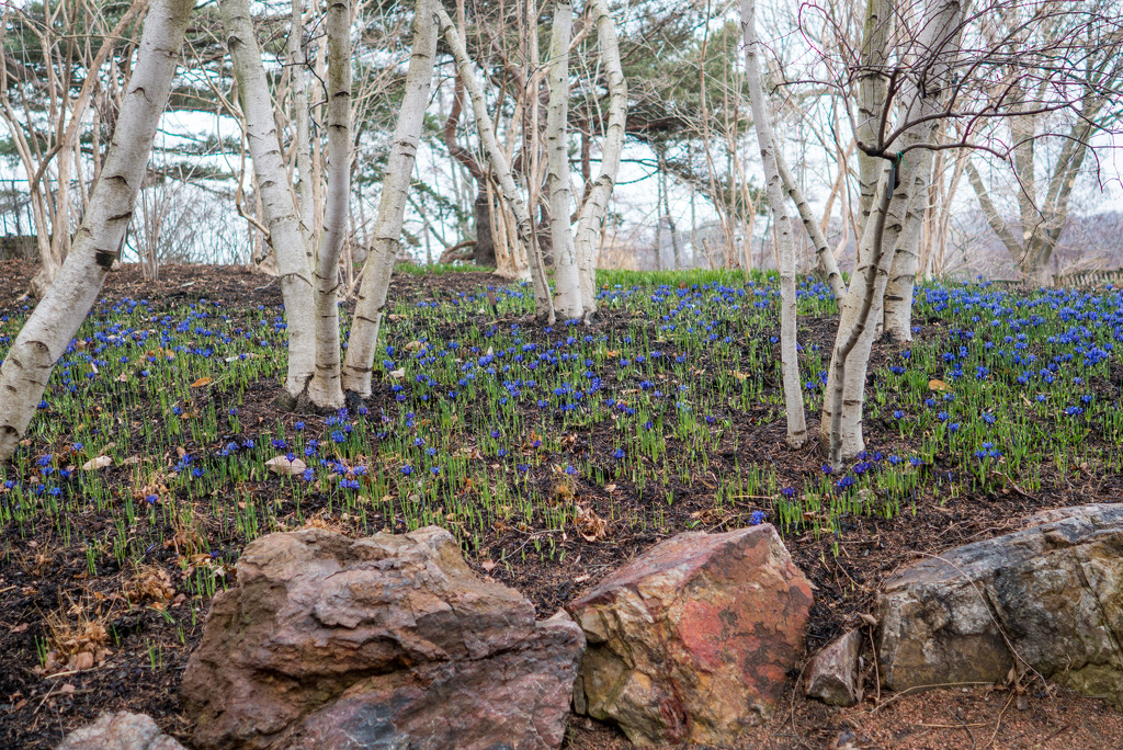 Dwarf Iris Landscape with Birch Trees by rminer