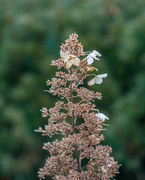 29th Mar 2018 - Flowering Brown Christmas Tree in a English Walled Garden