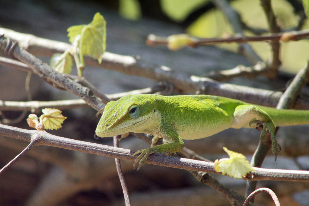 Anole Lizard by gaylewood