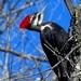 Pileated Woodpecker by olivetreeann