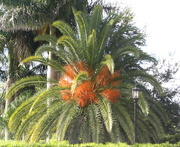 29th Mar 2018 - Looks like a fern - but it's a palm tree