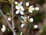30th Mar 2018 - Blackthorn...