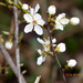 Blackthorn... by snowy