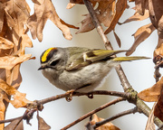 30th Mar 2018 - Golden-crowned Kinglet