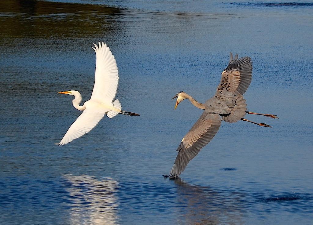 Herons by congaree