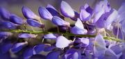 31st Mar 2018 - PURPLE wisteria