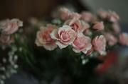 30th Mar 2018 - Rose 1