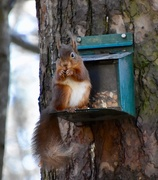1st Apr 2018 - Red Squirrel