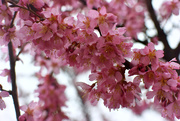 1st Apr 2018 - First Cherry Blossoms of the Season