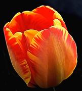 1st Apr 2018 - Tulip