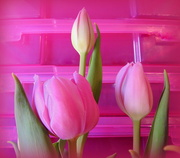 1st Apr 2018 - PINK tulips from the Easter Bunny!