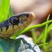 mr garden snake up close