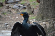 2nd Apr 2018 - Cormorant