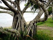 3rd Apr 2018 - Pandanus  Grows well along the coast of S.E Queensland