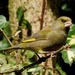 MISTER GREENFINCH TWO