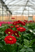 2nd Apr 2018 - Gerberas in the greenhouse