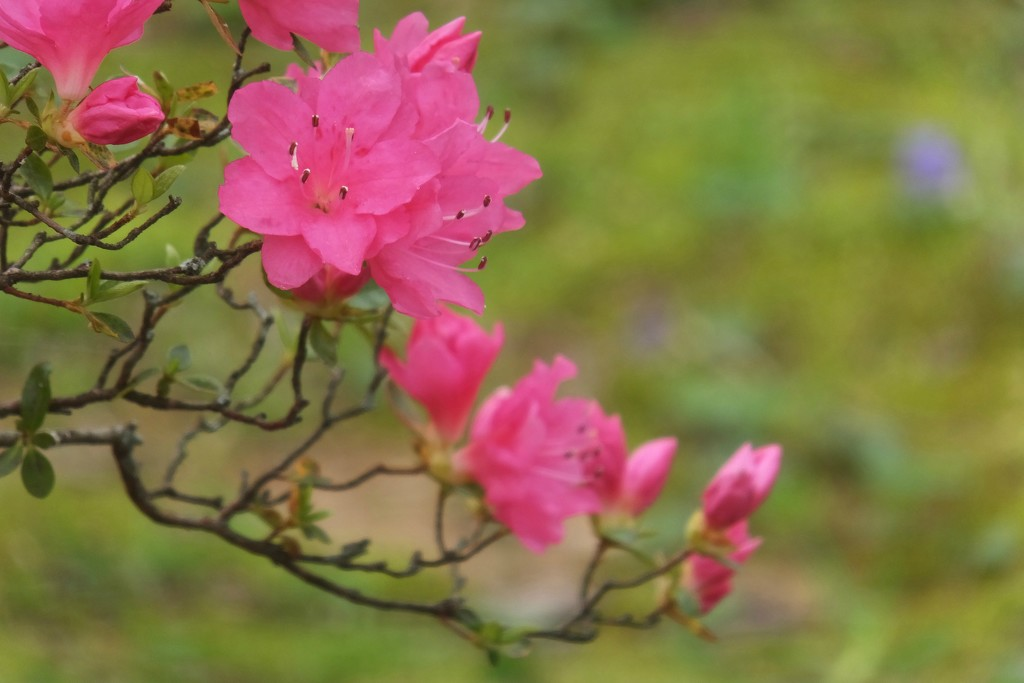 Spring Blossoms by linnypinny