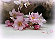 2nd Apr 2018 - Cherry Blossom.