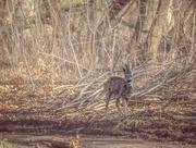 2nd Apr 2018 - roe deer