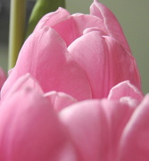 3rd Apr 2018 - PINK tulips