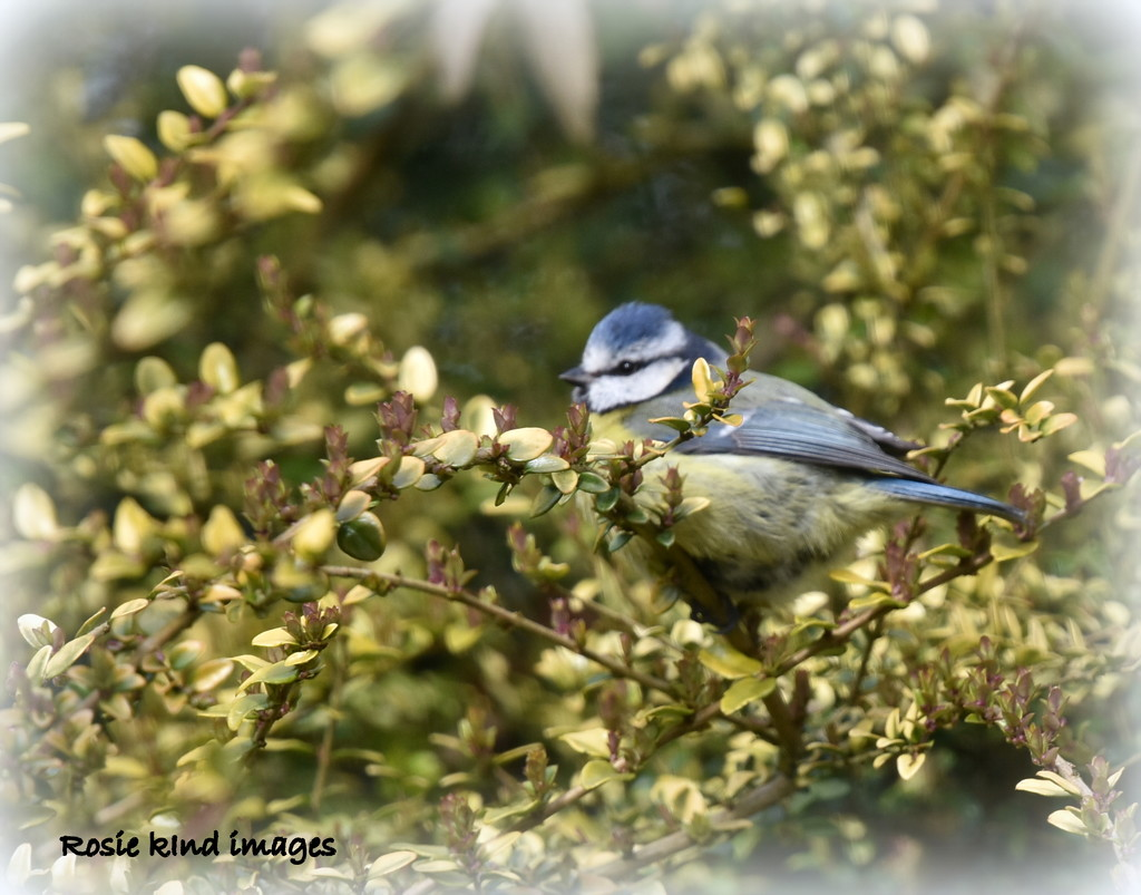 In the hedge by rosiekind