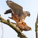 Male Kestrel with his lady by padlock