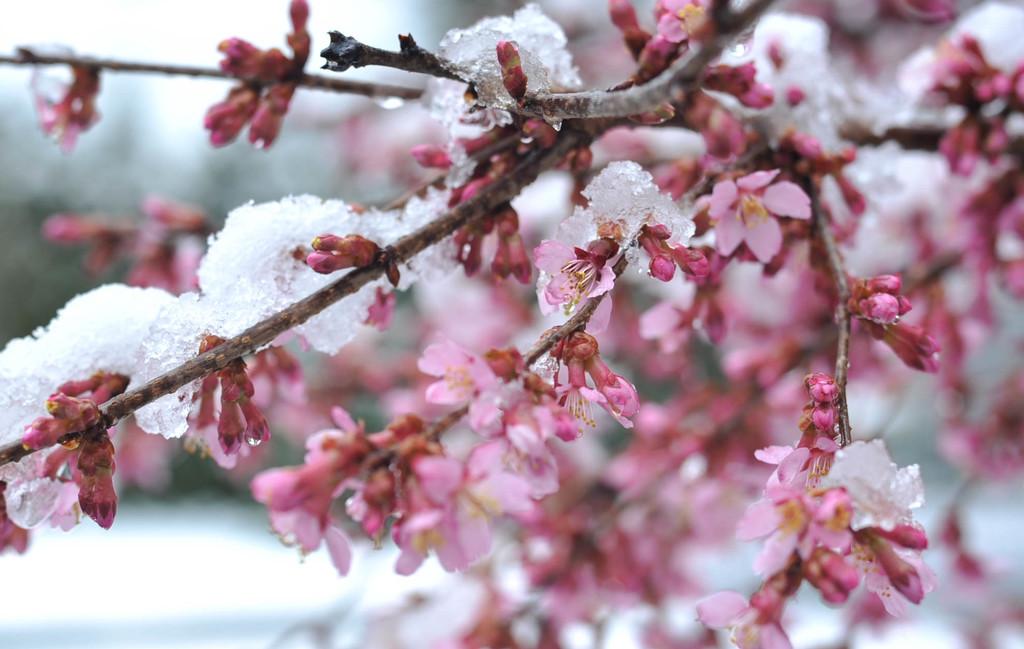 Snowy Blossoms by loweygrace