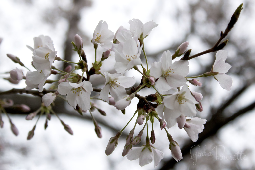 Cherry Blossoms by lynbonn