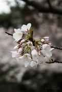 31st Mar 2018 - Cherry Blossoms