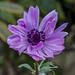 Anemone by tonygig