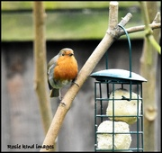4th Apr 2018 - Eyeing up the suet balls