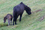 3rd Apr 2018 - Wild Pony and new born foal
