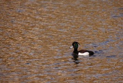 8th May 2012 - New Duck at Bluewater