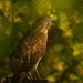 Red Shouldered Hawk Through the Glass! by rickster549