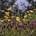 Poppies and Wildflowers  by joysfocus
