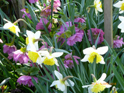 5th Apr 2018 - Hellebores and Daffodils