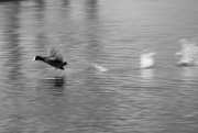 4th Mar 2018 - Coot at Speed!