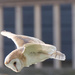 Barn Owl-hunting by padlock