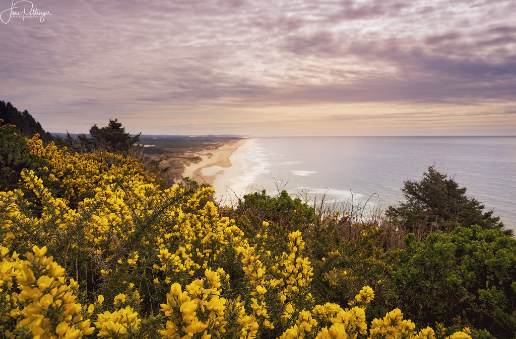 Spring Gorse Looking Down the Coast  by jgpittenger