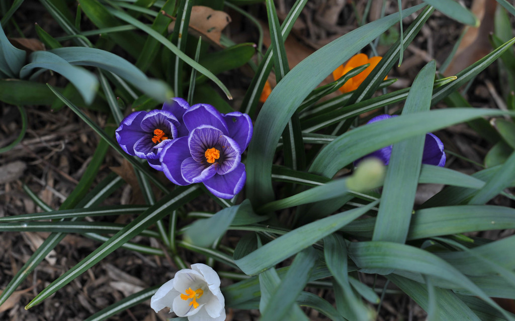 Purple Crocus by loweygrace