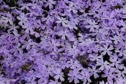 5th Apr 2018 - Pretty Purple Phlox