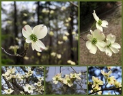 6th Apr 2018 - Dogwoods of Spring