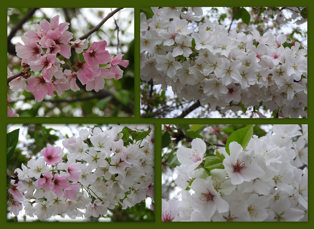 Spring White by homeschoolmom