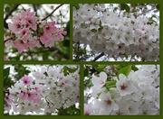 5th Apr 2018 - Spring White