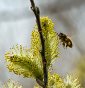 7th Apr 2018 - A busy bee
