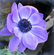 6th Apr 2018 - A for Anemone.