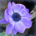 A for Anemone. by wendyfrost